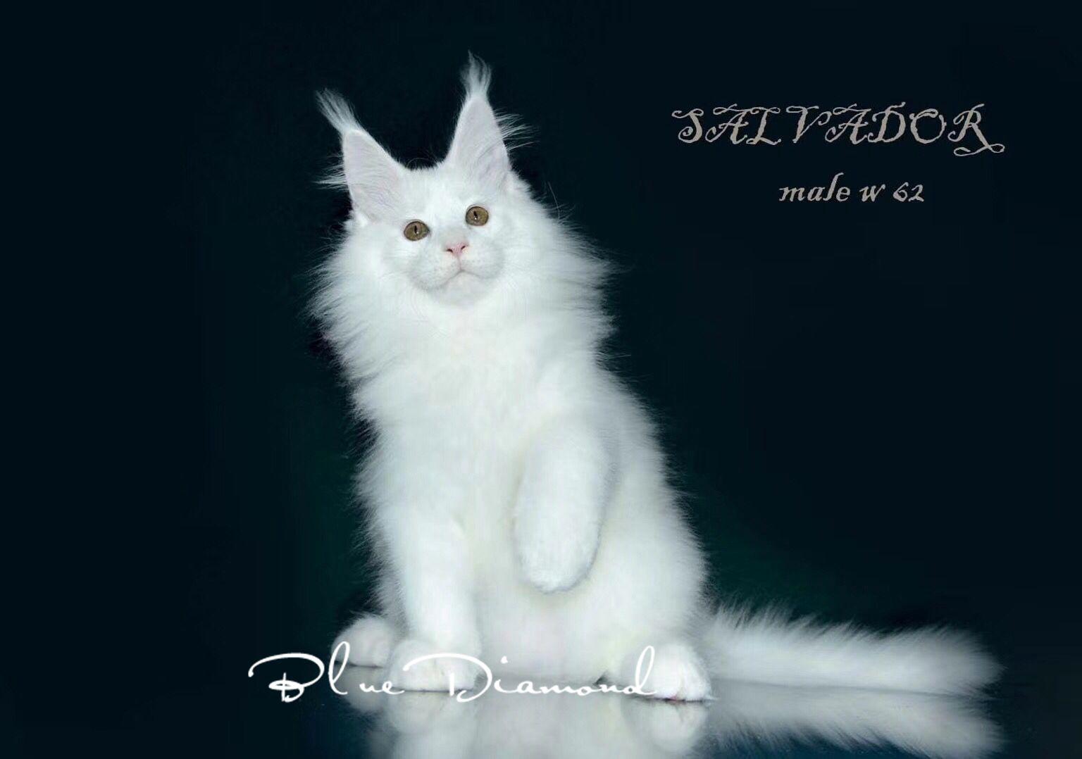 缅因猫幼猫活体银虎斑缅因猫红虎斑纯白纯黑纯蓝烟灰缅因猫狮子猫图片
