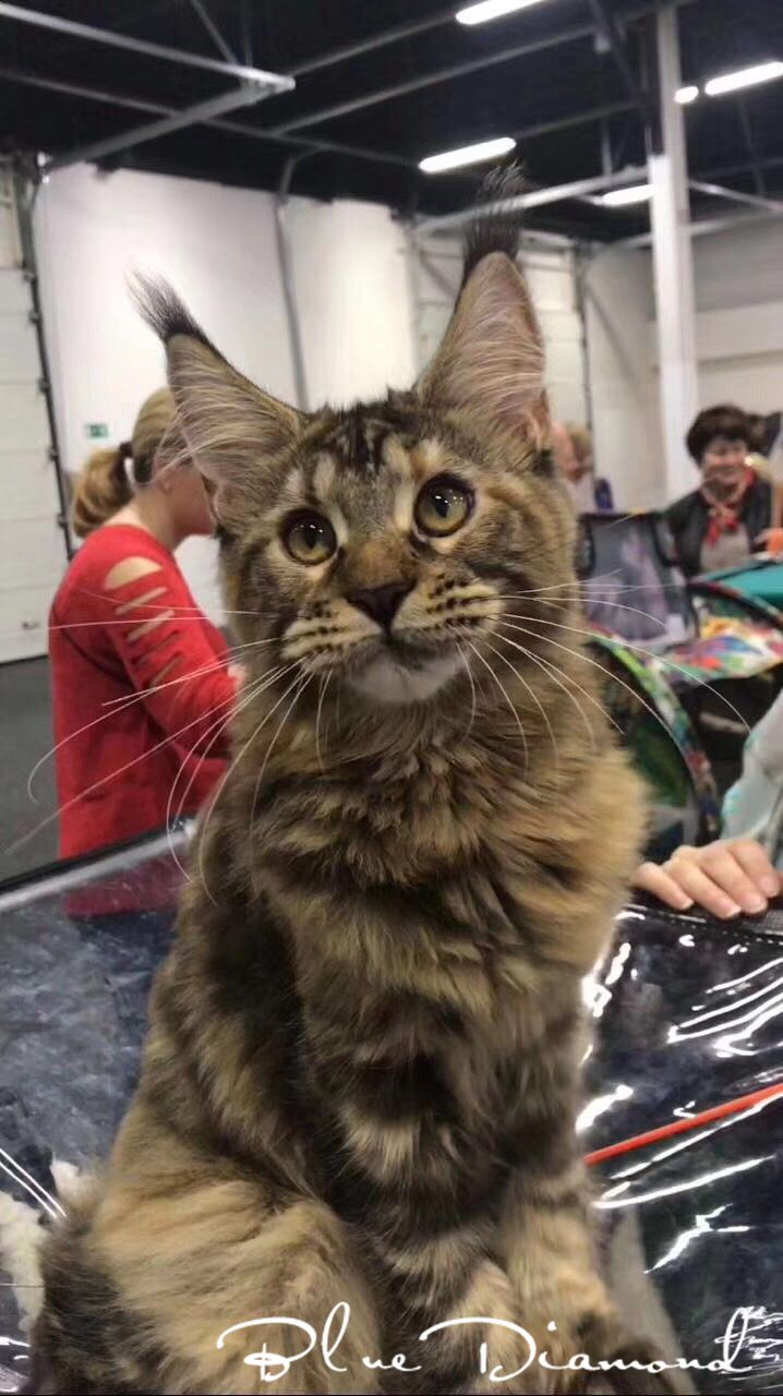 Maine Coon living pet cat brown tiger Maine cat