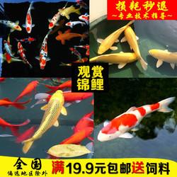 好养观赏鱼淡水冷水鱼黄金红白纯种龙凤金鱼苗家庭鱼活体日本锦鲤