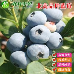 北高品种蓝莓树苗 一加仑钵苗 两年苗 木木蓝莓苗 多个品种