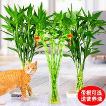 富貴竹觀音竹水培植物轉運竹水養客廳綠植招財室內花竹子盆栽植物