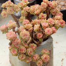 多肉植物老桩组合含盆栽超大颗劳尔特大型株群生莲花包邮特价清仓