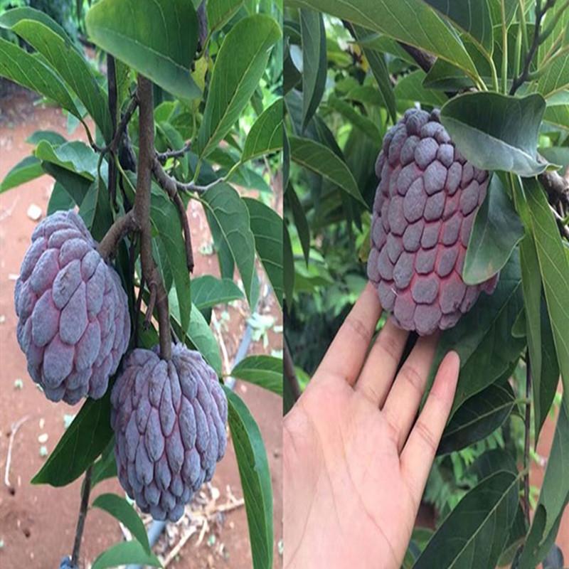 四季の果物の苗釈迦の果樹の苗台湾のパイナップルの釈迦の果物の苗はその年仏陀の果実の番のレイシの苗を結果します。