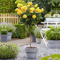 浓香多色高杆月季花树四季盆栽月季花庭院双色嫁接树状月季树带花