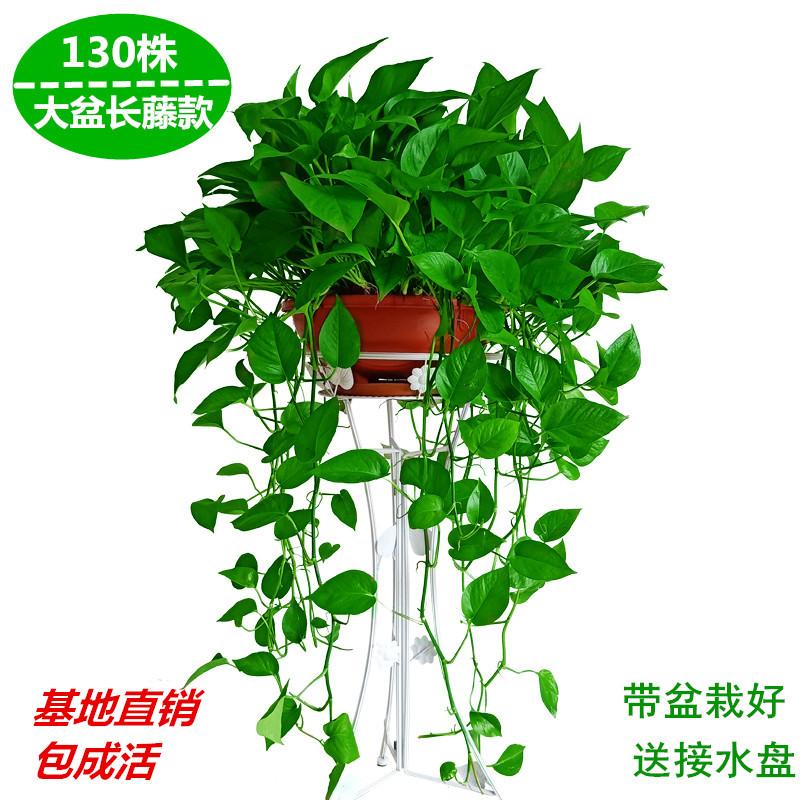 大盆绿萝盆栽室内大叶长藤垂吊兰水培绿箩植物客厅吸甲醛净化空气