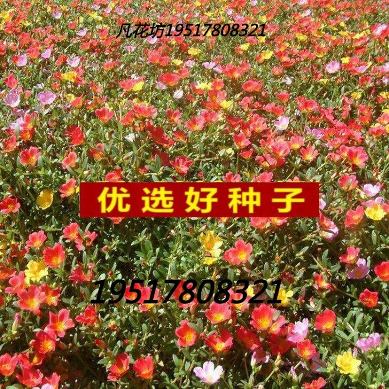 太阳花种子/死不了/半支莲/阳台花卉松叶牡丹