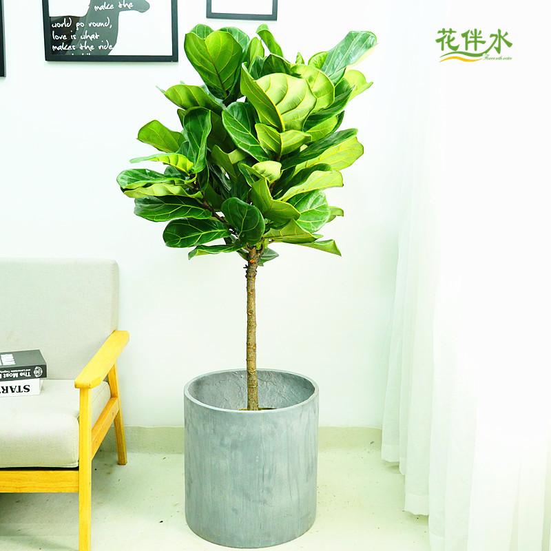 花伴水深圳琴叶榕大型北欧风绿植室内盆栽送礼开业店铺装饰客厅