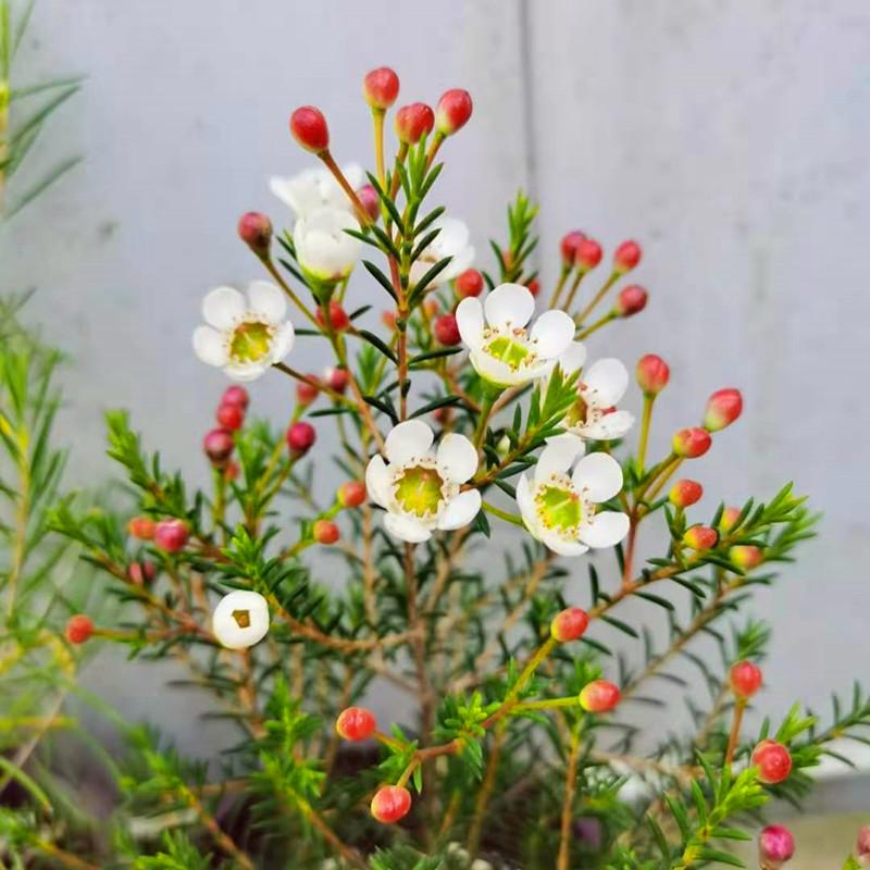 松红梅澳洲腊梅盆栽 澳梅阳台多年生观花植物风蜡花金彩梅花3颜色