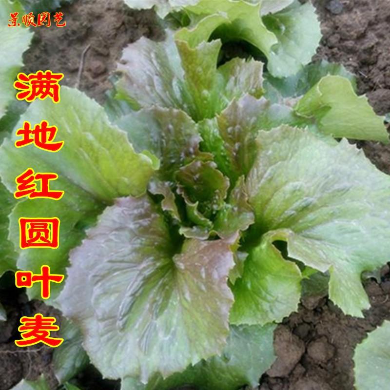 满地红圆叶唛种子圆叶油麦菜籽春季阳台盆栽蔬菜种孑香莜麦青菜籽