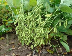 现摘新鲜夹绿带壳带箱3斤青豆毛豆