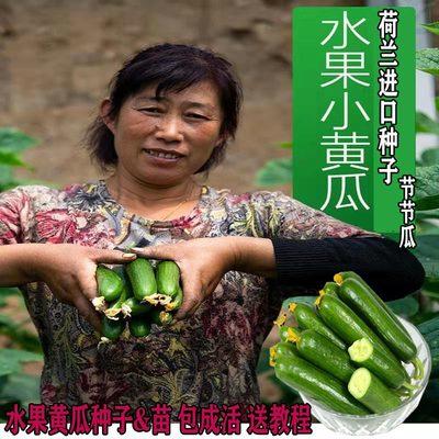 水果黄瓜种子四季无刺小黄瓜种籽高产阳台盆载早熟大黄瓜春秋种苗
