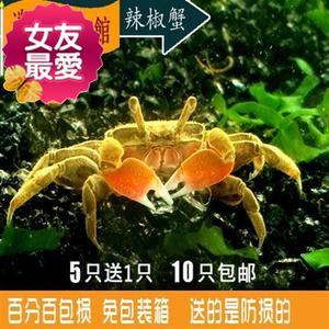 可爱迷你辣椒蟹/深水蟹/观A赏蟹/宠物蟹草缸吃涡虫/可混养