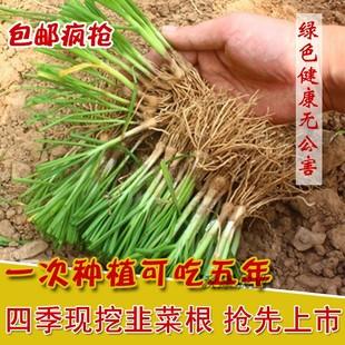 韭菜根紫根宽叶现挖四季韭菜苗大叶韭菜种子阳台盆栽韭菜籽