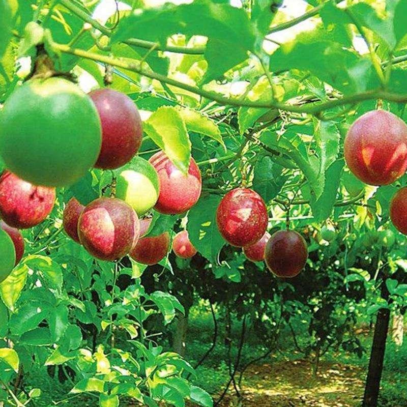 百香果苗紫香一号黄金果巨无霸满天星鸡蛋果种苗树苗盆栽当年结果