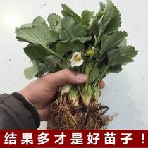 四季草莓苗盆栽帶土南北方種植當年結果食用牛奶草莓秧陽臺帶盆