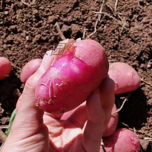 新净果10斤大新鲜红皮云南大号土豆