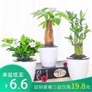 栀子花花卉盆栽幸福树盆栽植物室内绿萝吸甲醛绿植小发财树富贵竹