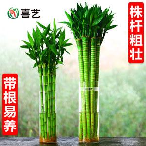 带跟龙竹观音竹荷花竹发财竹富贵竹植物水养客厅招财绿植水培花卉
