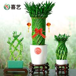 喜艺带根富贵竹植物花卉水培室内客厅办公室桌面招财竹子盆栽盆景