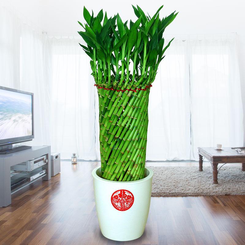 喜艺富贵竹水培植物花卉水养转运竹客厅室内带根招财大型绿植盆栽