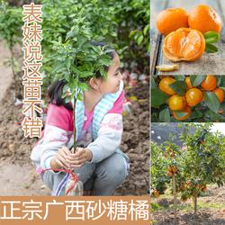 砂糖橘树苗无核金秋砂糖桔早熟 无籽沃柑 金葵沙塘橘子苗当年结果