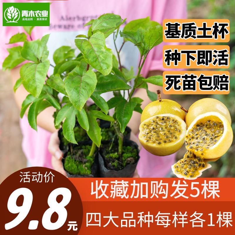 黄金百香果苗树苗四季爬藤南方当年结果鸡蛋果苗果树阳台盆栽特大