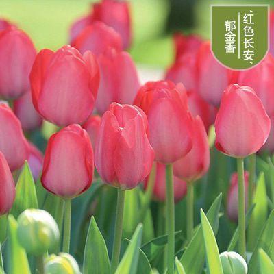 耐寒荷兰一代大球郁金香种球盆栽水培易种花卉观花植物室内花
