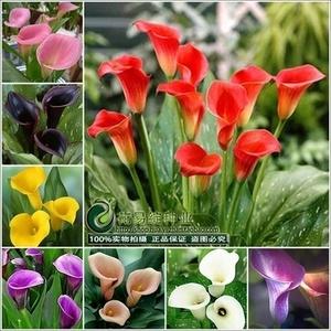 进口彩色马蹄莲种球带芽对版盆栽各种花卉种根子四季多年生室内外