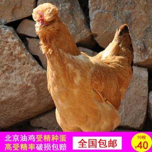 正宗北京油鸡种蛋 北京油鸡受精蛋 油鸡种蛋可孵化小鸡10枚包邮
