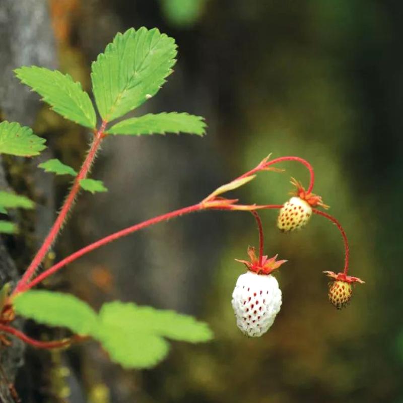 五葉イチゴは日陰に耐えます。野生イチゴのベリーは家庭の鉢植えのベランダに植えられています。