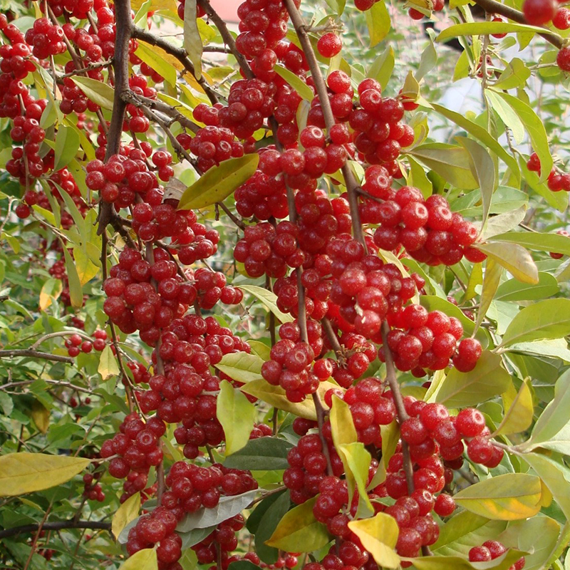 胡衰子の苗木のベリー先生の輸入規格の家庭の花園のベランダの露台の鉢植えのベリーの果物の苗