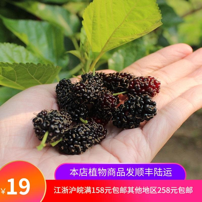 果物の桑の苗木の桑の実の実の実の実の実の大きい十台湾の果物の白玉の王などの多品種の家庭のベランダの鉢植えの果物の苗