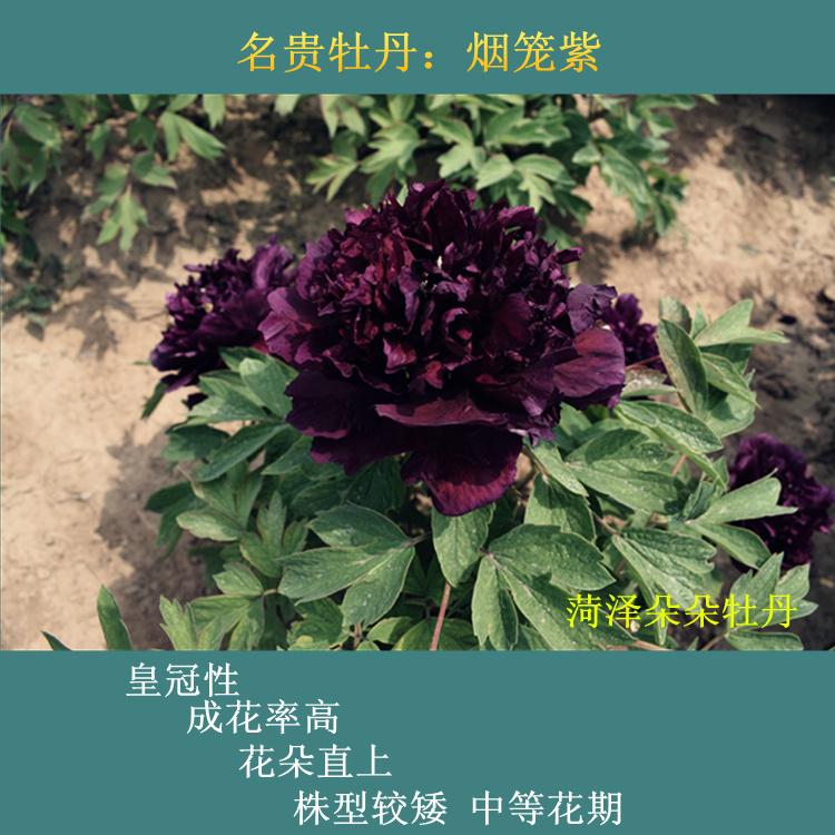 烟笼紫牡丹初乌冠世墨玉黑夫人乌金耀辉皇嘉门牡丹黑色系名贵牡丹