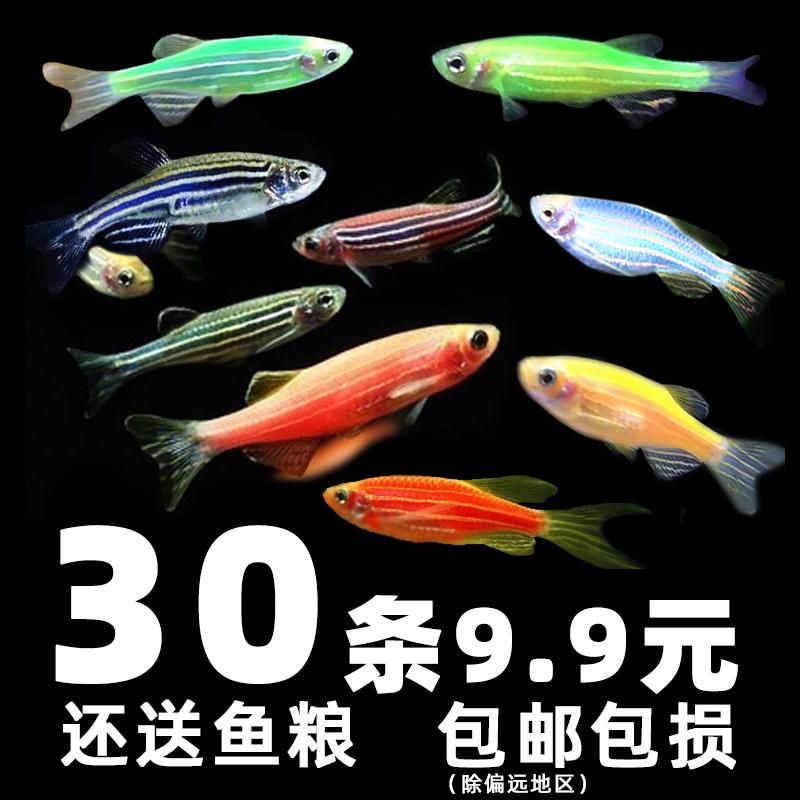 斑马鱼活体热带观赏鱼小型淡水好养小鱼草缸金鱼苗红绿灯科荧光鱼
