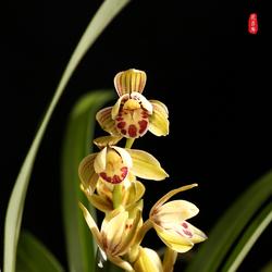 青轩花菲廊 金荷浓香矮种荷瓣兰花未带花苞 原生老种国兰绿植盆栽