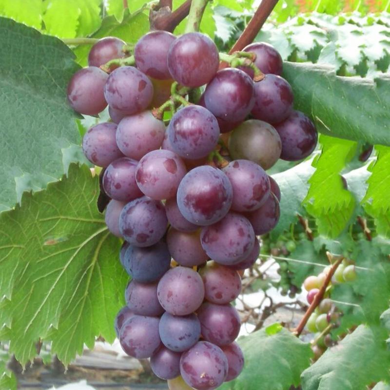 藤稔[乒乓球]葡萄苗当年结果庭院抗寒爬藤南北方种植品种葡萄树苗