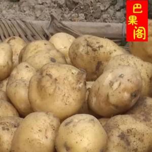 福建周宁土产高山农家自种新鲜土豆