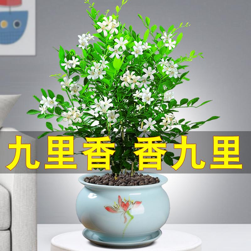 九里香盆栽盆景老桩浓香四季植物七里香树苗室内好养花卉驱蚊绿植