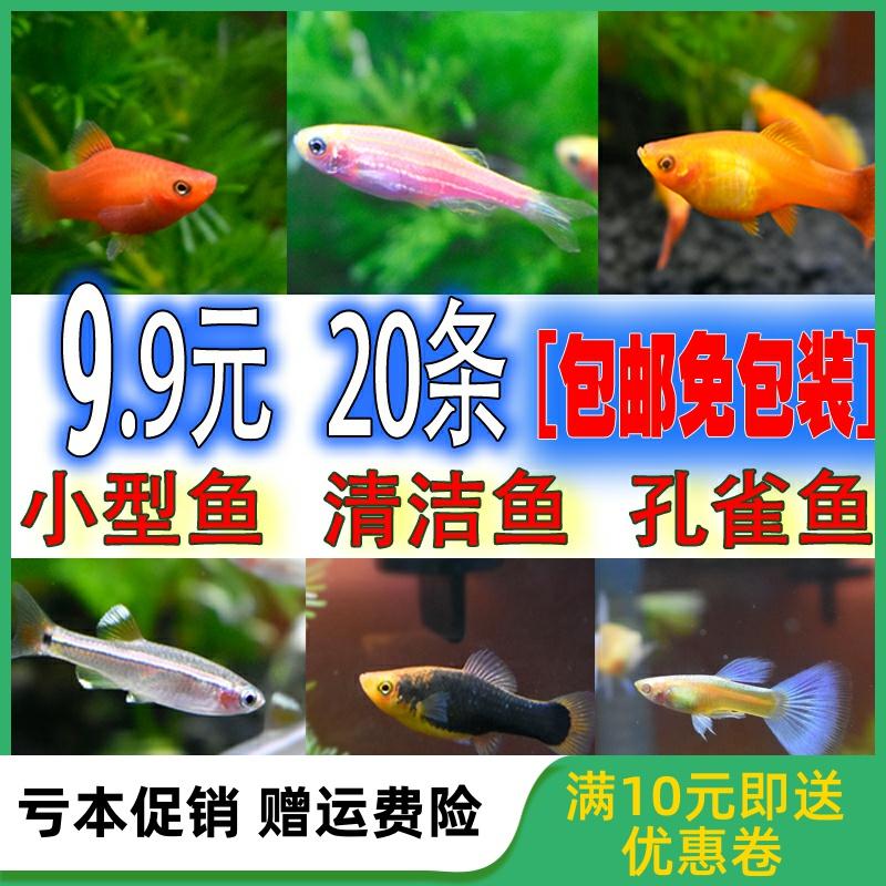 灯科鱼活体红绿灯孔雀鱼斑马鱼草缸淡水宠物小型热带观赏鱼发顺丰