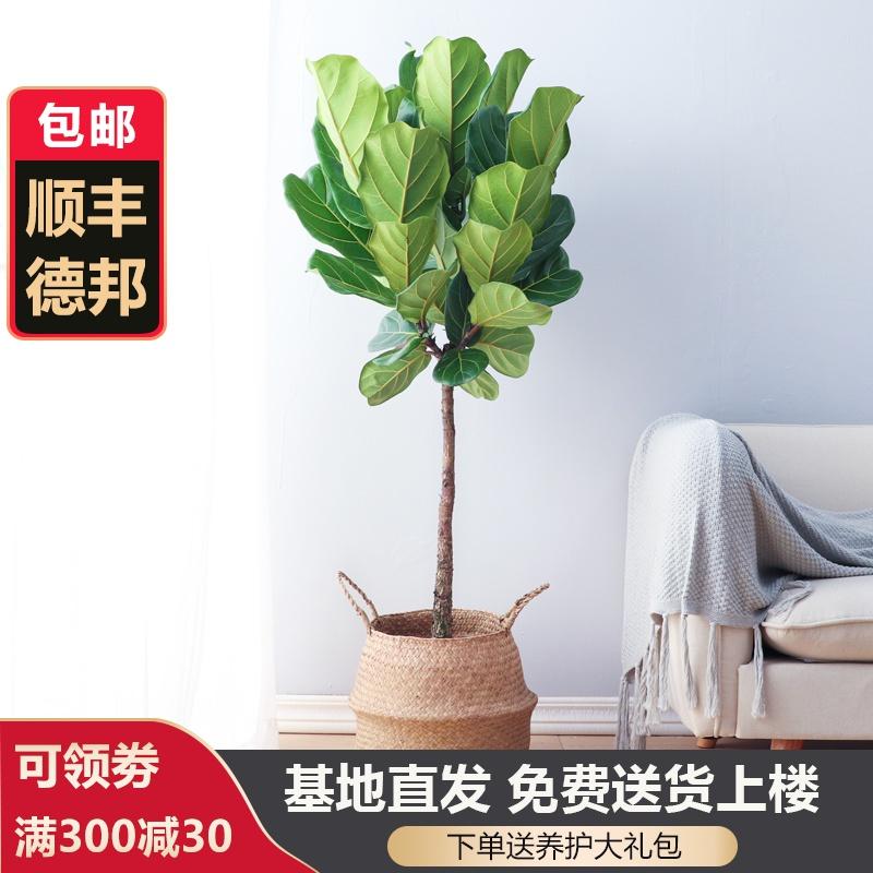 富贵叶琴叶榕盆栽室内客厅大叶北欧真绿植大型吸甲醛琴叶榕植物