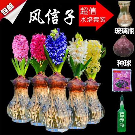 风信子种球大球水培套装四季易活室内水养花卉植物盆栽洋水仙种子