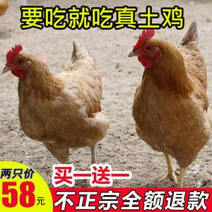 发2只农家散养农村现杀新鲜老母鸡