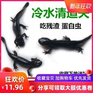 小火龙鱼活体鱼冷水鱼清道夫东方蝾螈娃娃鱼淡水观赏鱼小型鱼宠物