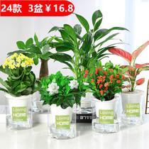 發財樹綠植花卉桌面小盆栽蘆薈多肉植物水培綠蘿富貴竹辦室內好養