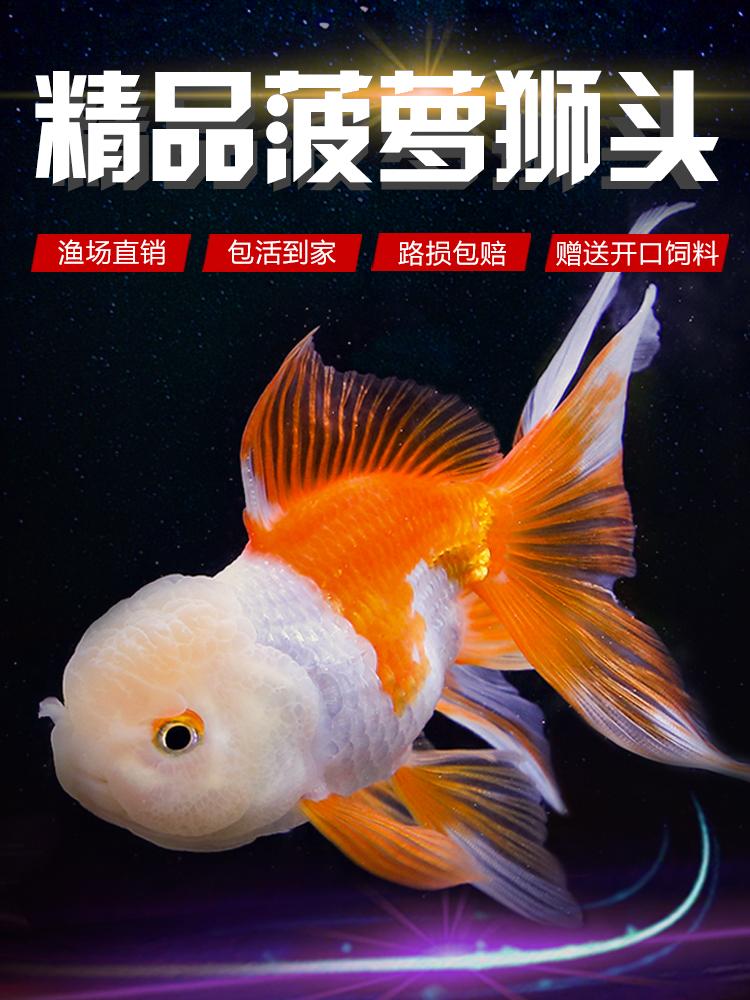 ~坷让精品菠萝狮子头金鱼活体观赏鱼好养耐活冷水鱼淡水鱼大中。