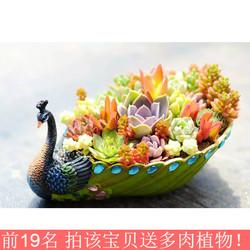 特大号艺术可爱孔雀多肉植物花盆长条形口径老桩拼盘创意个性摆件