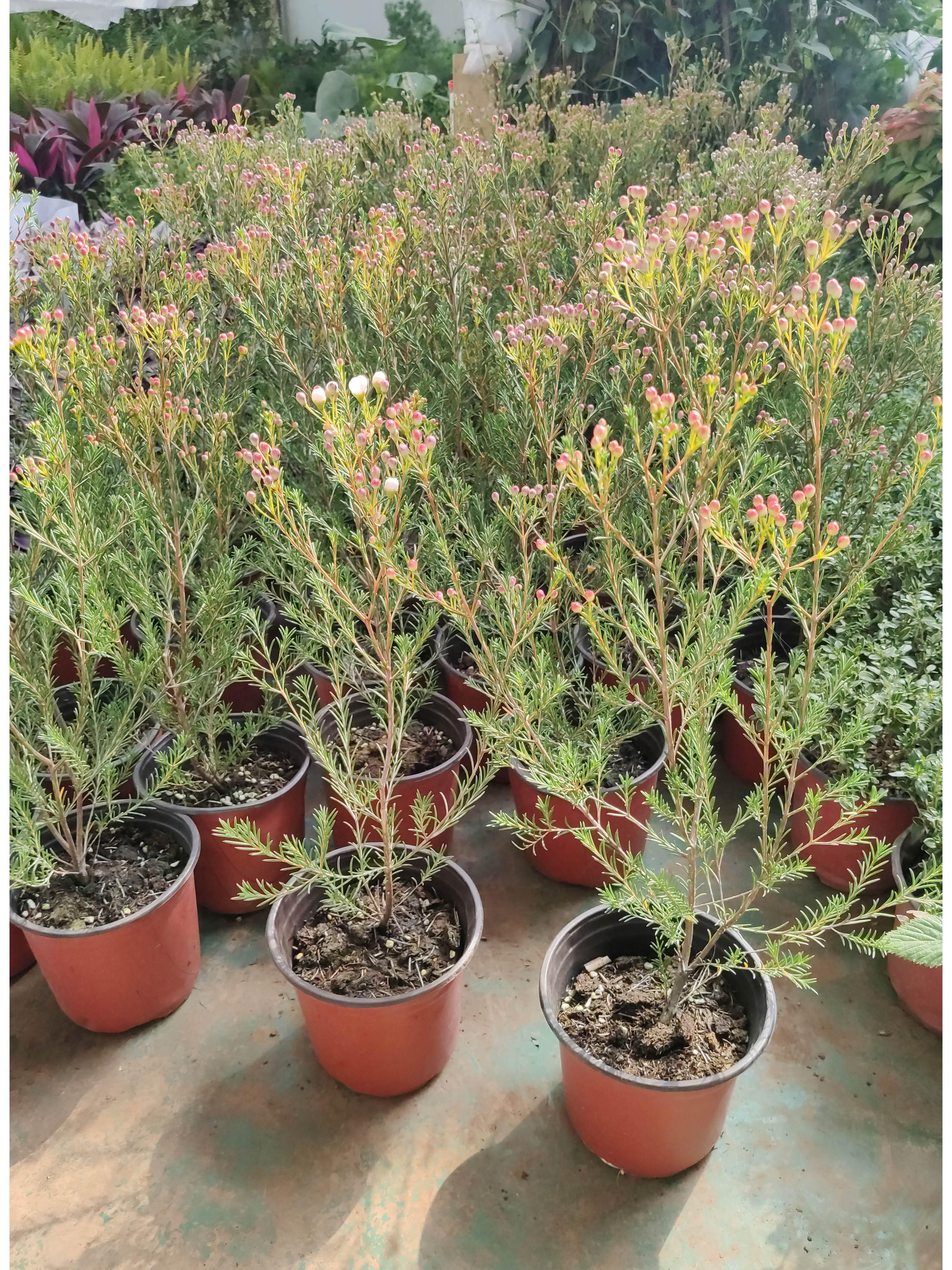 进口澳洲腊梅盆栽花卉室外庭院阳台多年生木本植物耐寒原盆原土