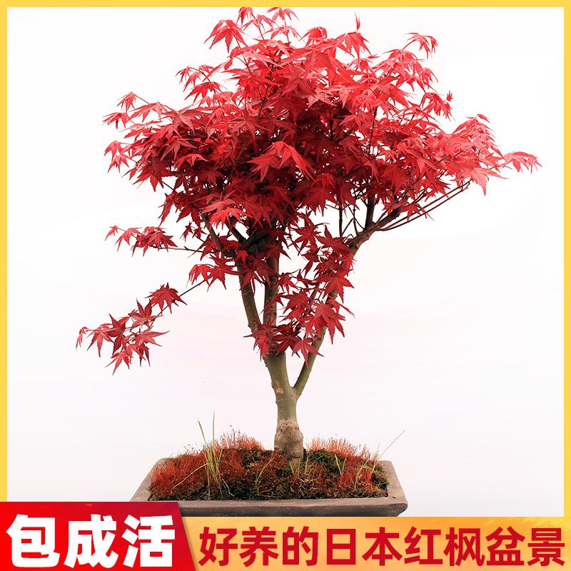 老桩四季红舞姬盆栽中国红日本红枫