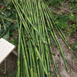 甜高粱种子农家老品种牧草糖绿皮高粱四季播北方甜杆小甘蔗种籽孑