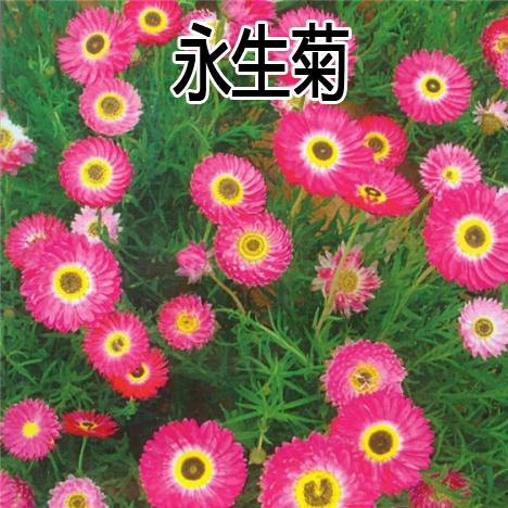 永生菊の種松葉菊の種は四季折々の花の種で、園林緑化工程の草の種を植える。